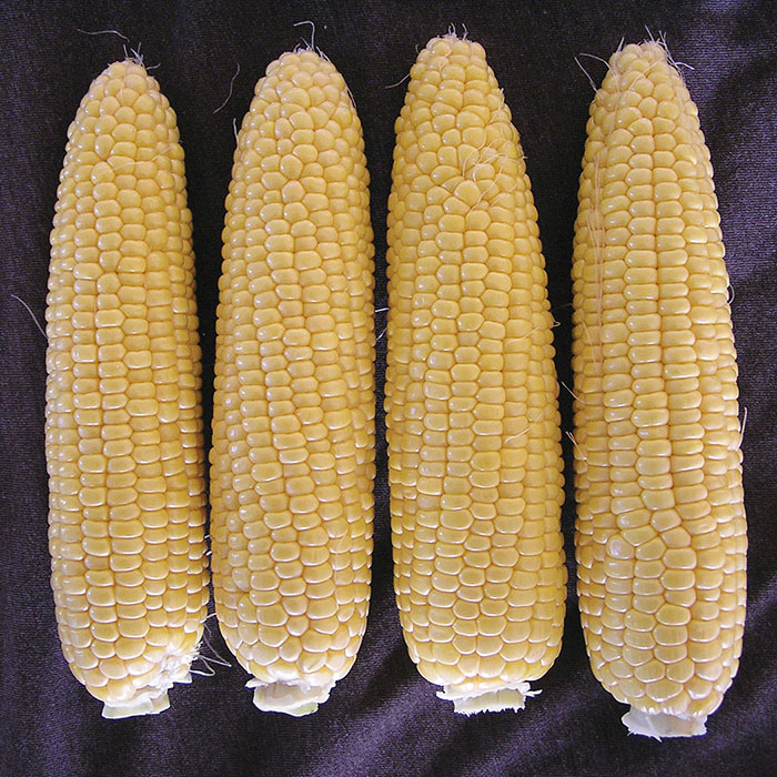 Mirai Mentor Sweet Corn