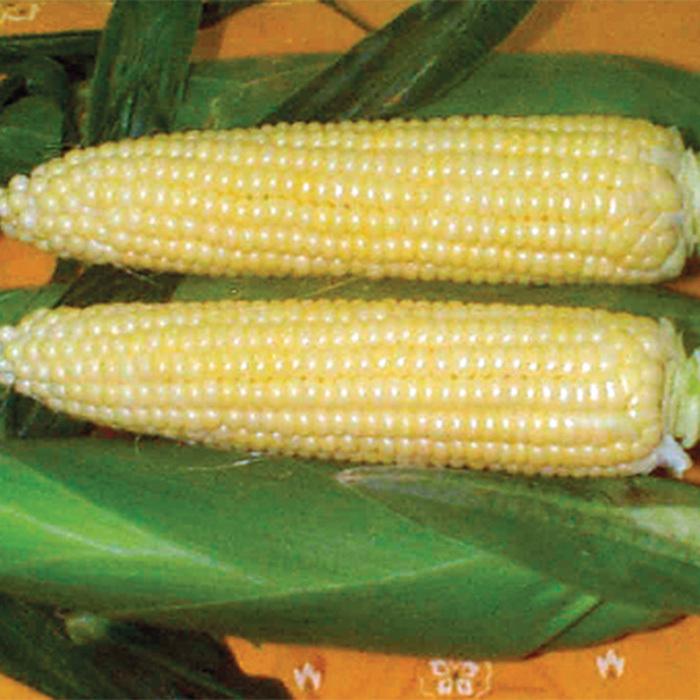 Spring Treat Hybrid Sweet Corn