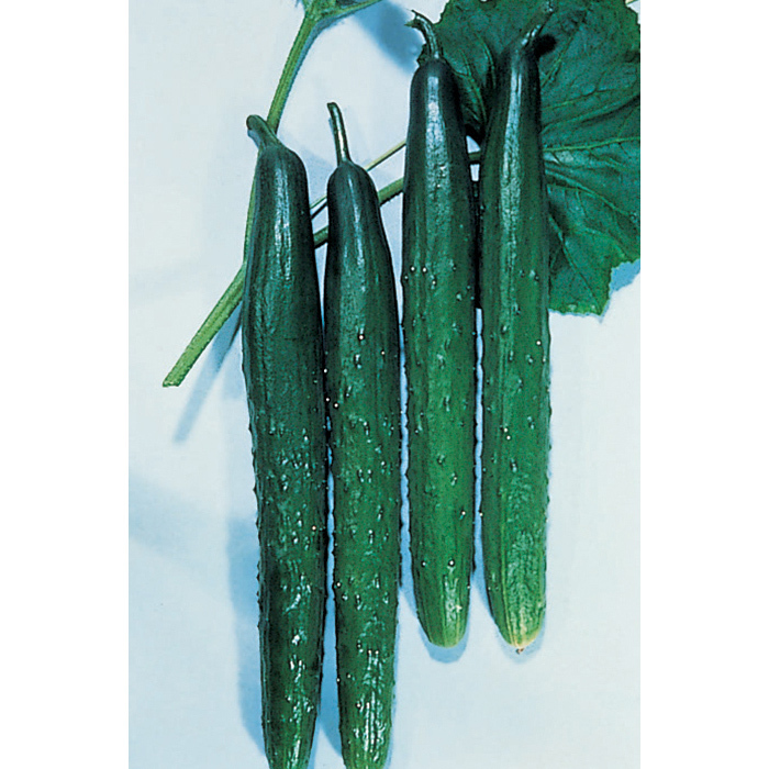 Tasty Green Hybrid Cucumber
