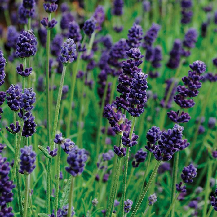 Lavance Deep Purple Lavender