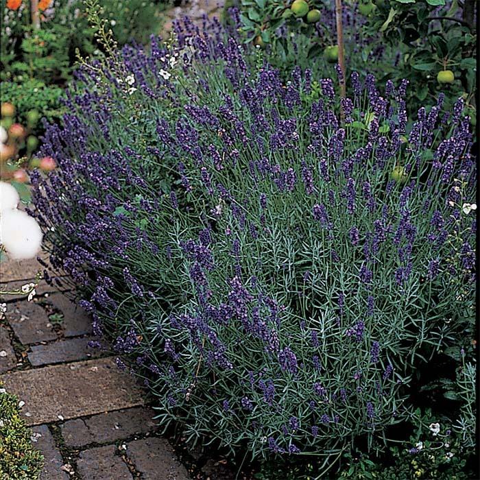 Munstead Dwarf Lavender
