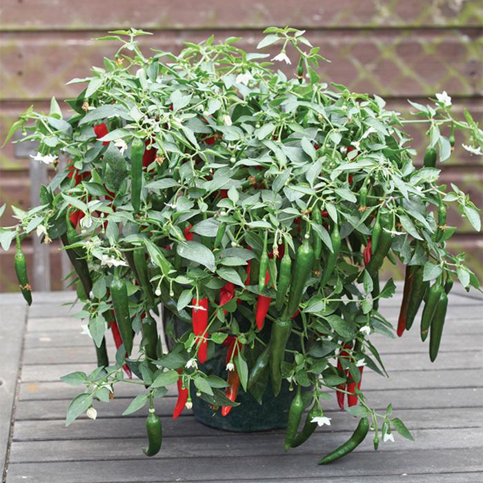 Cayennetta Hybrid Pepper