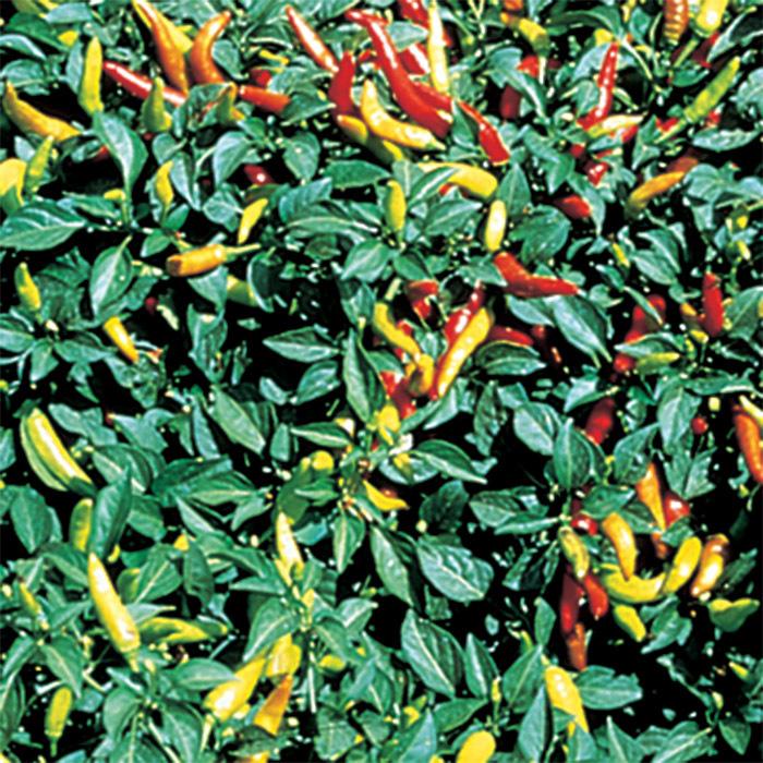 Super Chili Hybrid Pepper