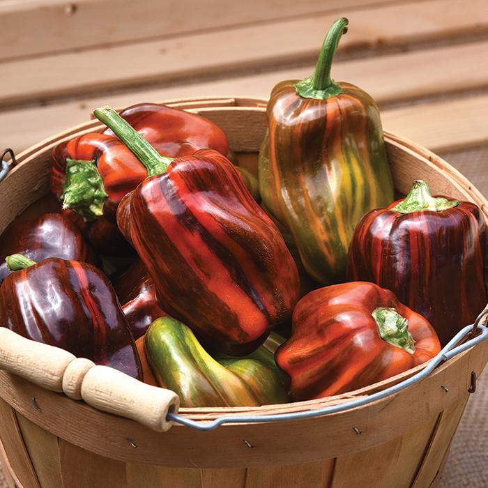 Candy Cane Choc. Cherry Hybrid Pepper