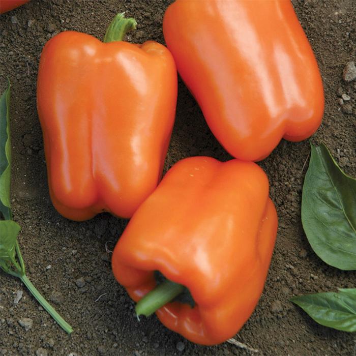 Orange Blaze Hybrid Pepper