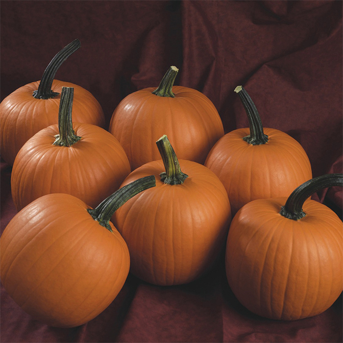 Hijinks Hybrid Pumpkin