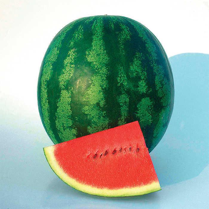 Shiny Boy Hybrid Watermelon
