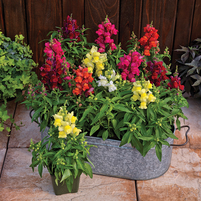 Candy Top Mix Snapdragon Pixie Stakes