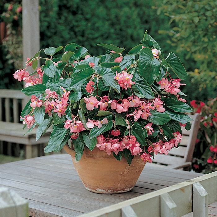Dragon Wing Pink Hybrid Begonia