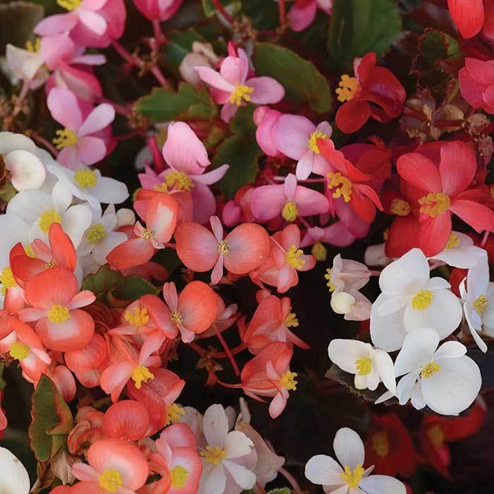 Babywing Mix Begonia