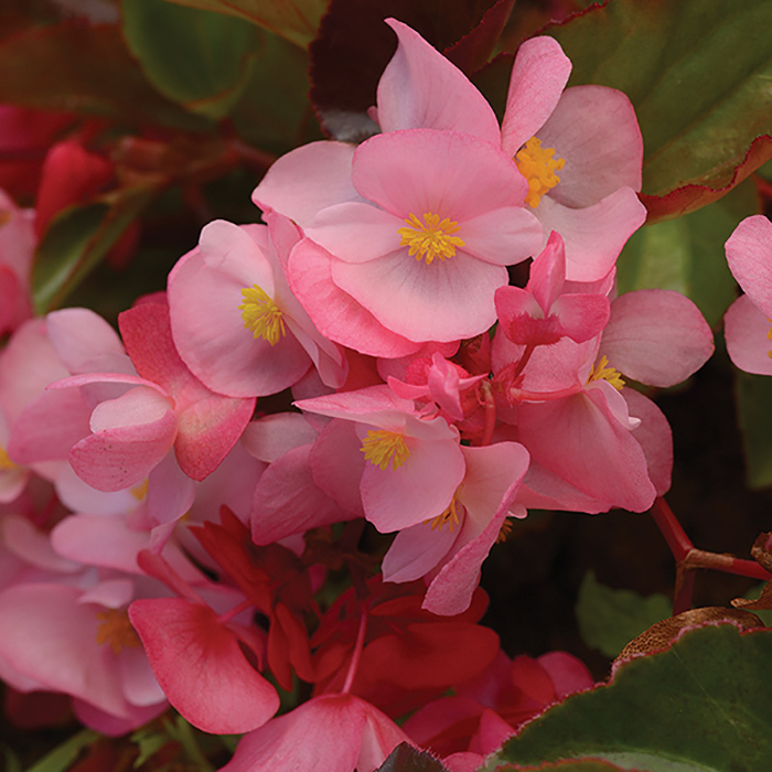 Pink Bronze Leaf Begonia