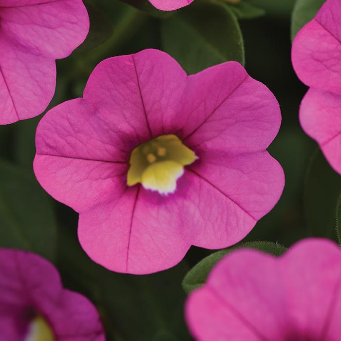 Kabloom Pink Hybrid Calibrachoa