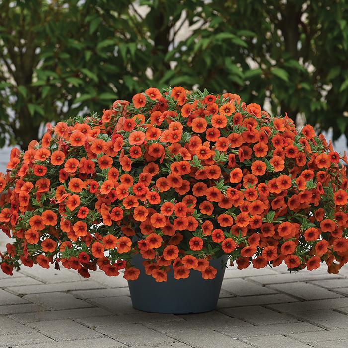 Kabloom Orange Hybrid Calibrachoa