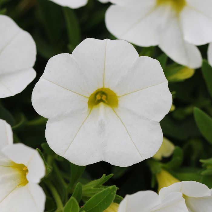 Kabloom White Calibrachoa