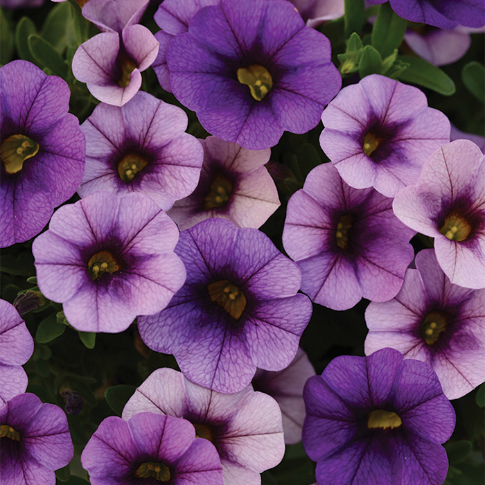 Denim Kabloom Calibrachoa