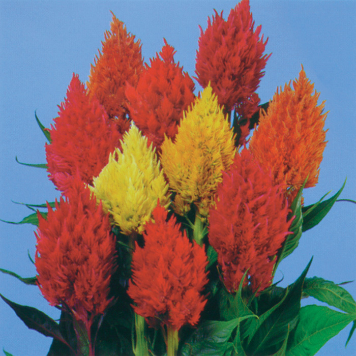 Castle Mix Plumed Celosia