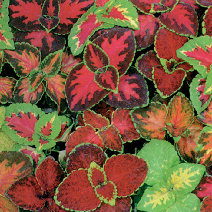 Multicolor Rainbow Mix Coleus