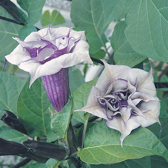 Double Lavender Datura