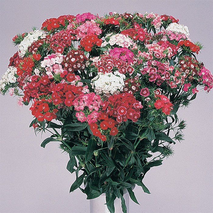 Hollandia Mix Dianthus