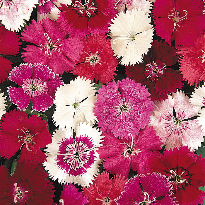 Ideal Select Mix Dianthus