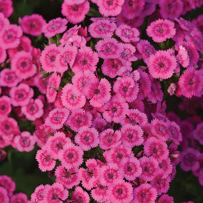 Jolt Pink Hybrid Dianthus