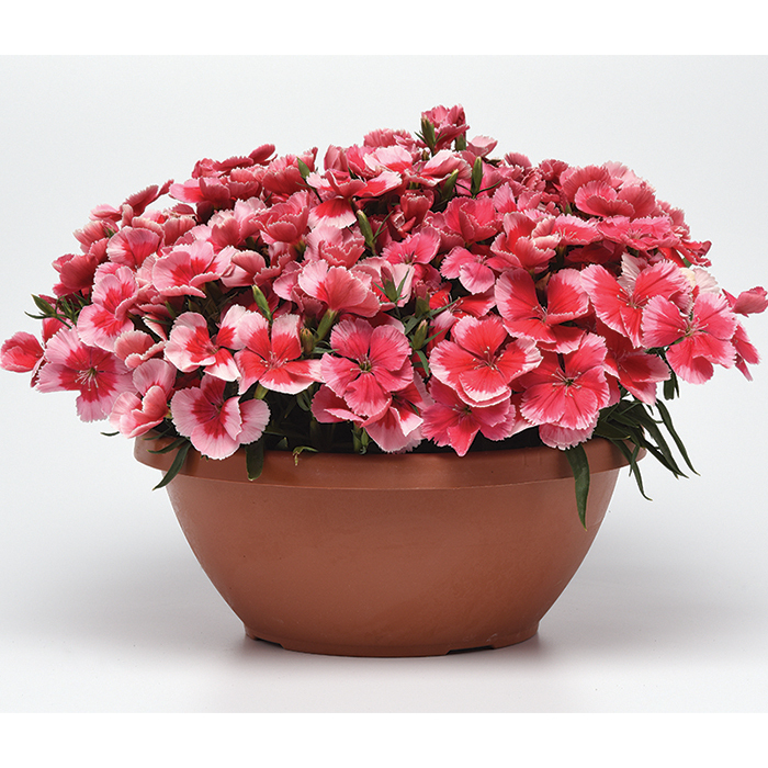 Strawberry Corona Hybrid Dianthus