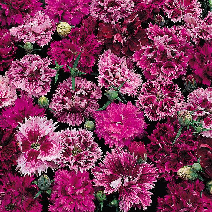 Victoriana Mix Dianthus