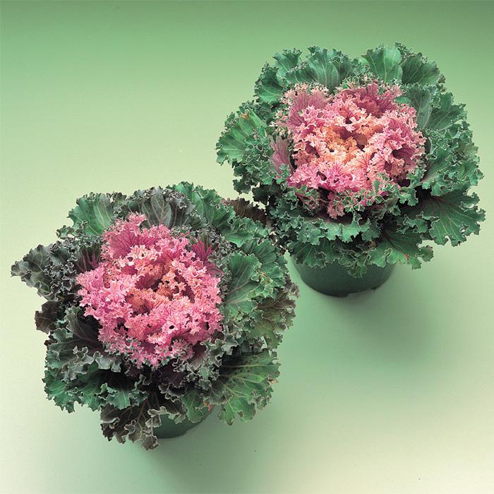 Kamome Hybrid Flowering Kale