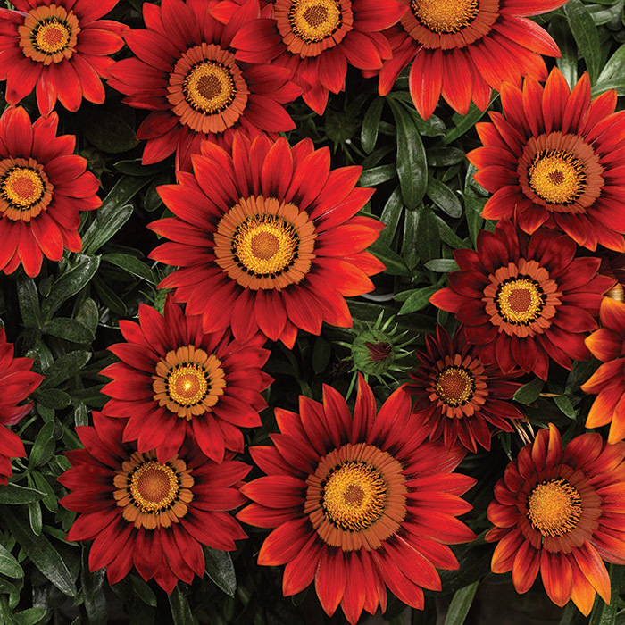 Big Kiss Red Hybrid Gazania