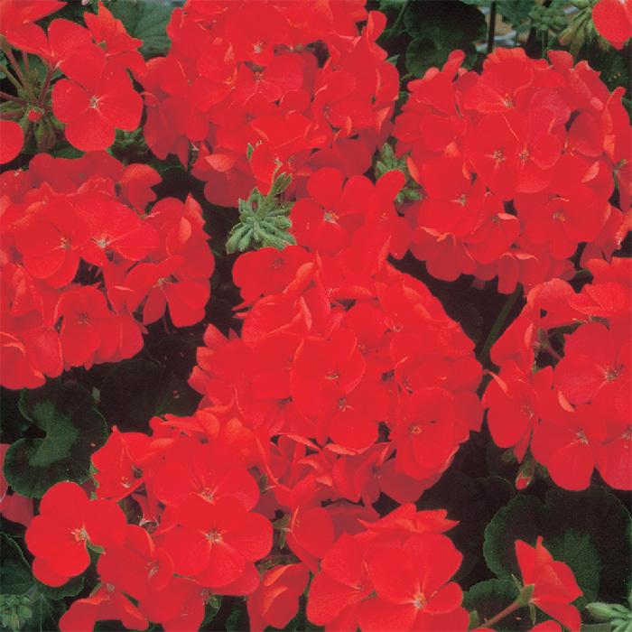 Red Multibloom Geranium