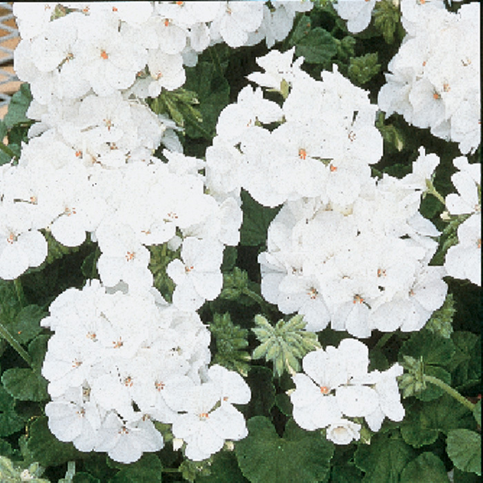 Multibloom White Hybrid Geranium
