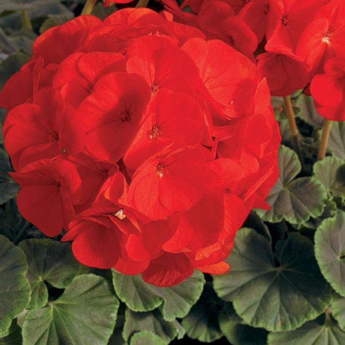 Bullseye Scarlet Hybrid Geranium
