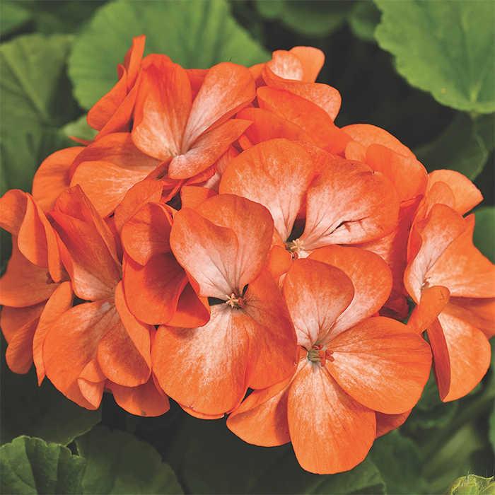 Pinto Premium Orange Bicolor Hybrid Geranium