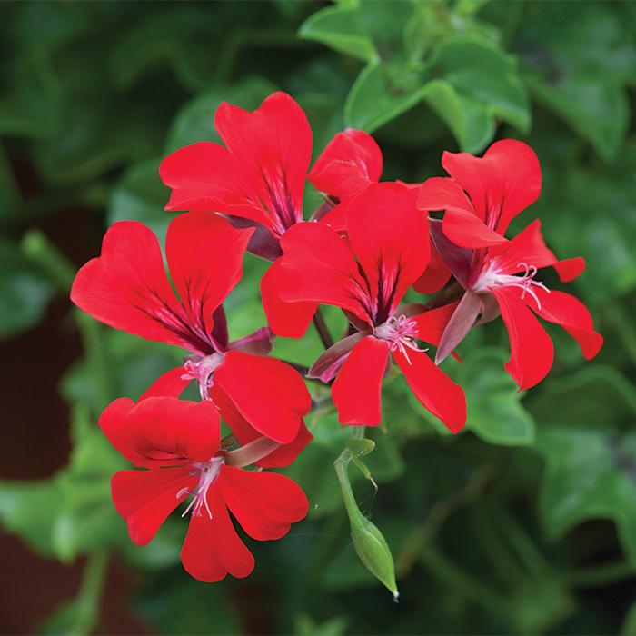 Red Reach Out Hybrid Geranium