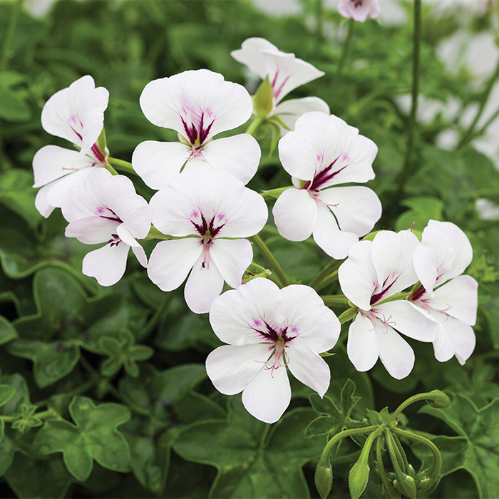 White Reach Out Hybrid Geranium