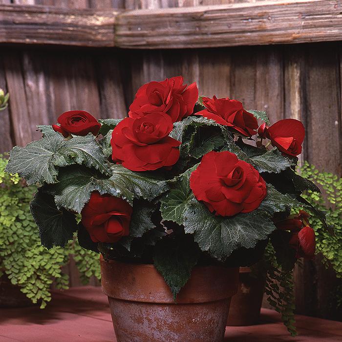 Red Amerihybrid Roseform Begonia