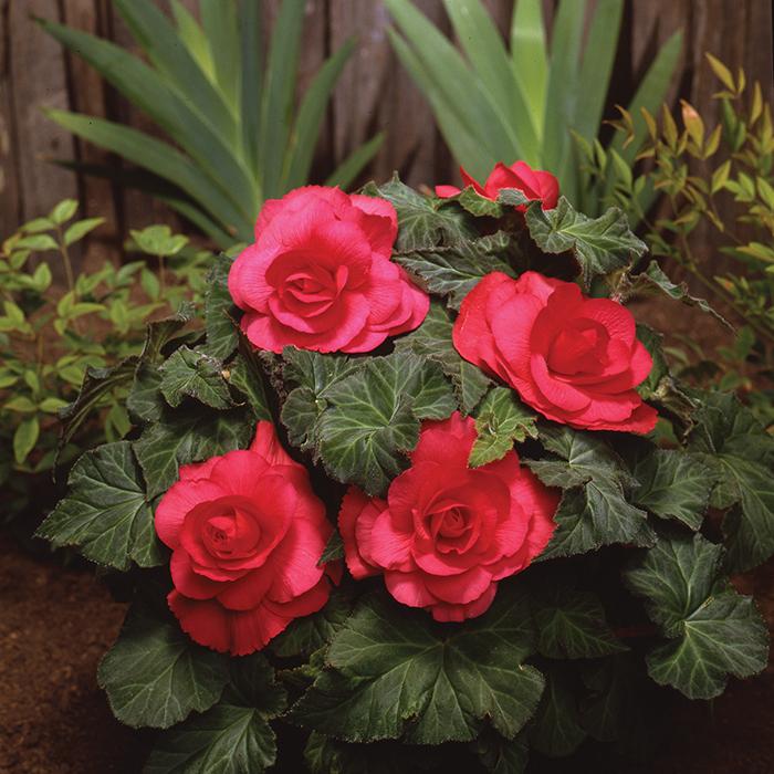 Rose Amerihybrid Roseform Hybrid Begonia