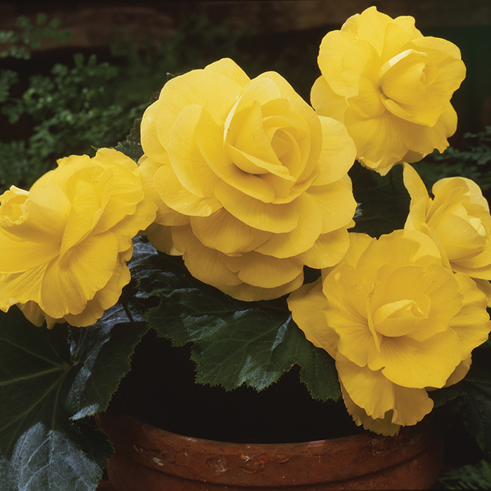 Yellow Amerihybrid Roseform Begonia
