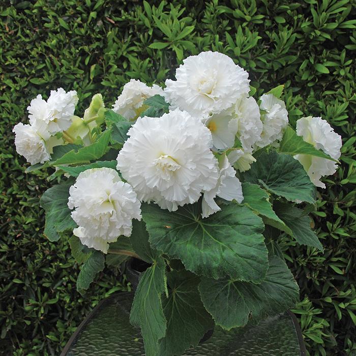 Amerihybrid Ruffled White Hybrid Begonia