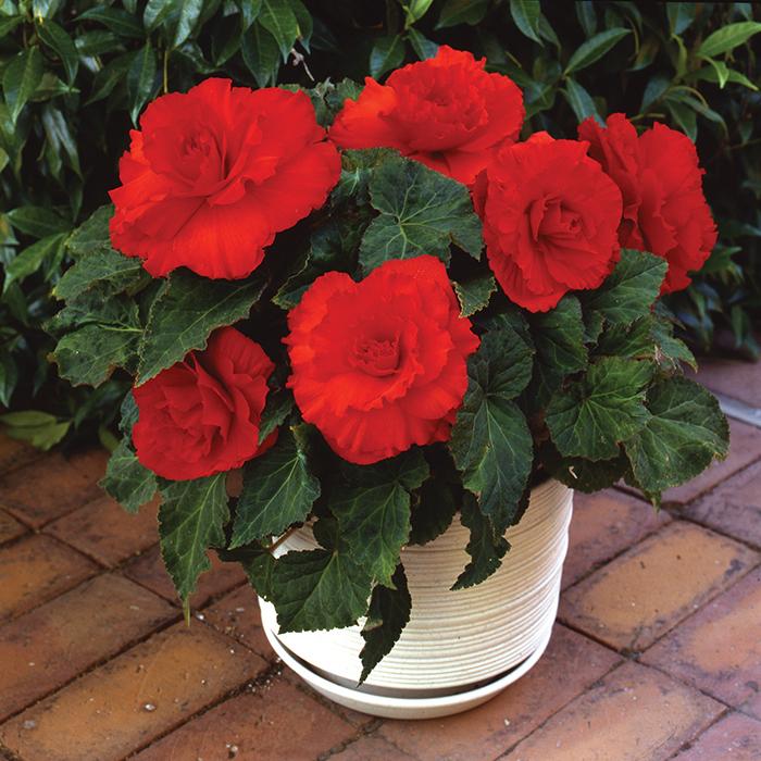Amerihybrid Ruffled Scarlet Red Hybrid Begonia