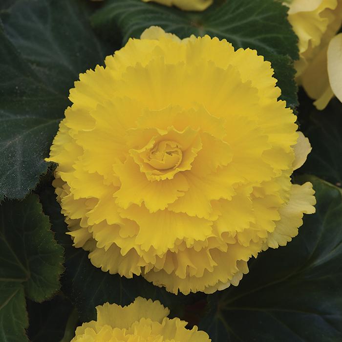 Amerihybrid Ruffled Yellow Hybrid Begonia