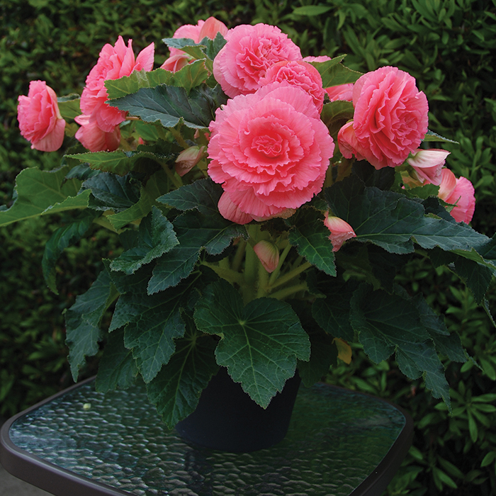 Amerihybrid Ruffled Pink Hybrid Begonia