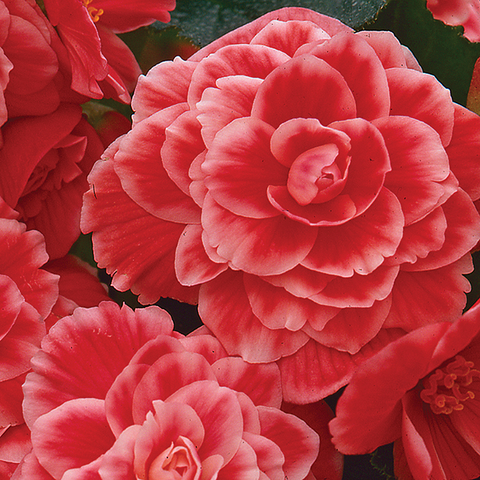 On Top Melon Lace Hybrid Begonia