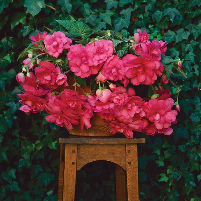 Pink Sun Dancer Hybrid Begonia