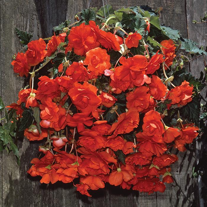 Scarlet Orange Sun Dancer Hybrid Begonia