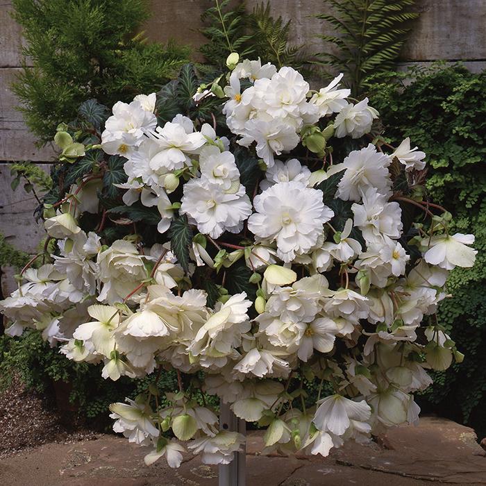 White Sun Dancer Hybrid Begonia