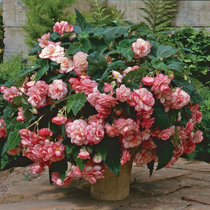 White Pink Picotee Sun Dancer Hybrid Begonia