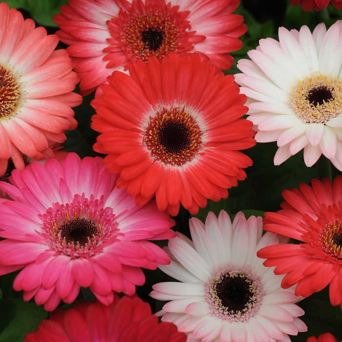 Midi Revolution Strawberry Shortcake Hybrid Gerbera