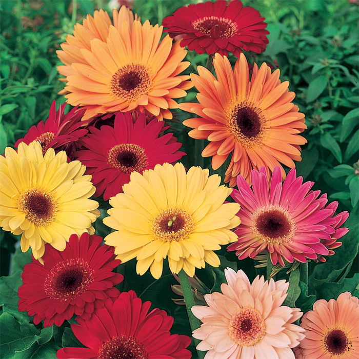 California Giants Mixed Gerbera