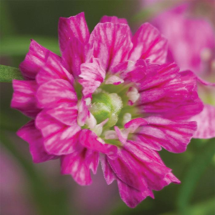 Gypsy Deep Rose Gypsophila